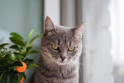 Strict gray funny cat looks down in a new house. The pet is in a bad mood.