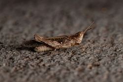 Stridulating Slant-faced Grasshopper of the Genus Orphulella