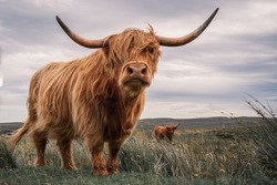 Striking Couple of Highland Cows Captured on the North Coast of Scotland