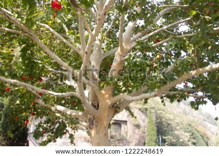 Striking Himalayan Birch hung with Chinese Red Lanterns