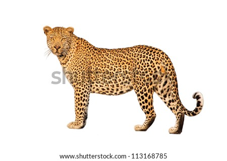 Striking pose of a big male leopard against a white background