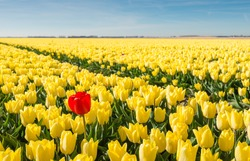 Striking red flowering tulip differs greatly from the many yellow blooming tulips in the large field of a Dutch bulb grower.
