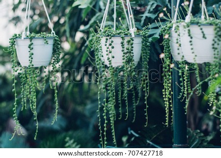 string of pearls succulent plant hanging in a greenhouse, symbolizing calm and serenity Сток-фото ©