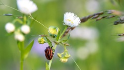 strip bug on margarite flower, Graphosoma italicum