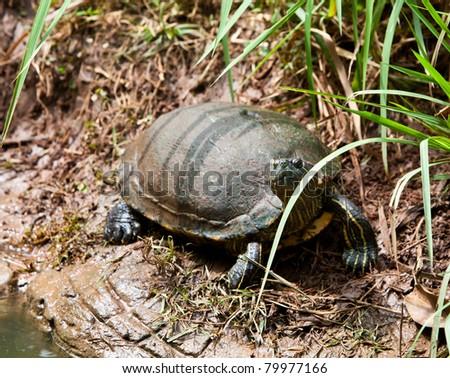 strip-neck turtles in nature,Thailand.
