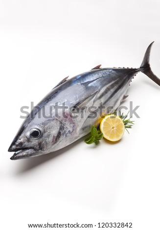 stripe-bellied Tuna. Euthynnus pelamis. Scomberomoridae. Bay of Biscay.