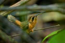 Stripe-throated hermit (Phaethornis striigularis) species of hummingbird from Central America and South America, fairly common small bird nesting in the nest built on the edge of the green palm leaf.