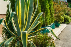 Striped American agave (Agave americana) - species of the agave genus, subfamily agave, asparagus family in cottage village in Olginka. Marginata. Cactus grows on flower bed near building of hotel.