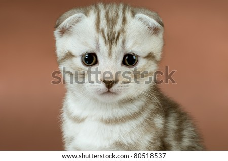 striped  beautiful kitten, breed scottish-fold,   close up snout  on brown  background, look stare on camera