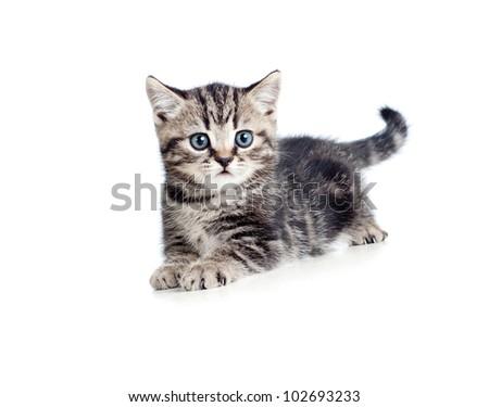 striped british kitten lying isolated