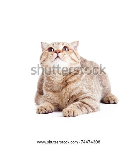 striped British kitten lying with opened mouth isolated