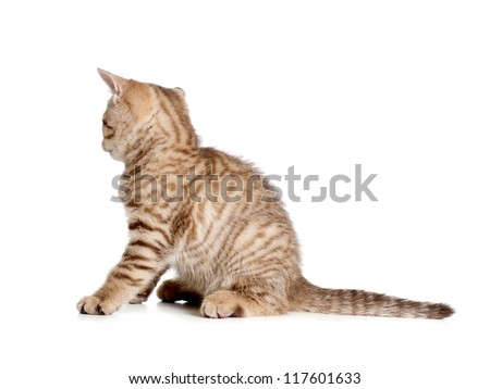 striped british kitten rear or back view isolated