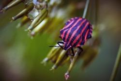 Striped bug or Italian striped bug, Minstrel bug (Graphosoma italicum, Graphosoma lineatum) walks on plant stem. Selective focus, macro, close-up.