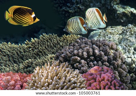 Striped butterflyfish,  Red Sea, Egypt