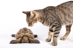 Striped cat examines new friend turtle, isolated on white