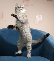 Striped cat jumping on blue soft chair