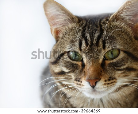 Striped cat on a white background