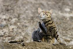 Striped cat scratching its face