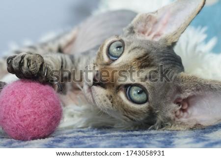Striped Devon Rex kitten with green eyes. Foto d'archivio ©