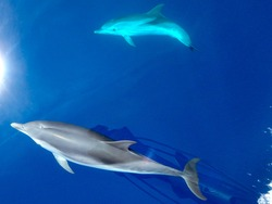 Striped dolphins swimming and playing in pristine blue water under a sailboat, Stenella coeruleoalba, in Mallorca, a balearic island, Spain.  tour. Could be Azores, Grece or Italy whalewatching tour.