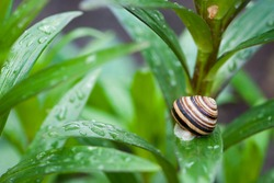 striped garden snail shell on green leaf on natural background with beautiful bokeh. small snail, green leaves with water drops, morning dew. macro nature. snail on a flower stem