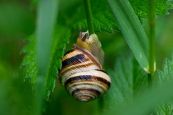 striped garden snail shell on green leaf on natural background with beautiful bokeh. small snail, green leaves in the garden. macro nature. snail on the stem of a meadow plant. close-up
