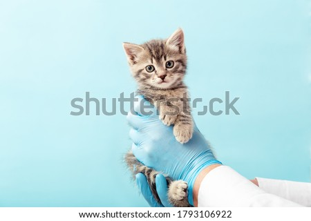 Striped gray cat in doctor hands on color blue background.Kitten vet examining. Kitten pet check up, vaccination in veterinarian animal clinic. Health care domestic animal.