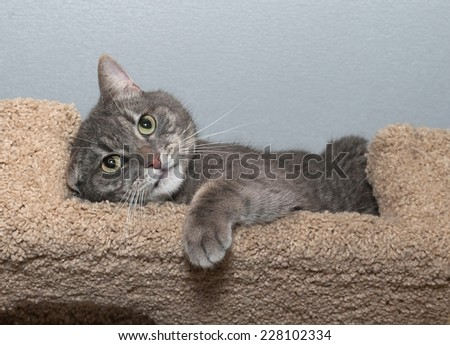 Striped gray cat with green eyes lies on scratching posts