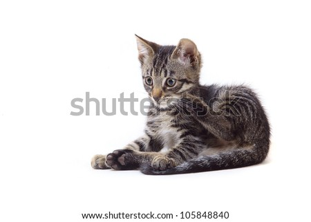 striped gray kitten playing on white background
