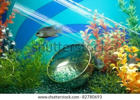 Striped grey fish in decorated aquarium