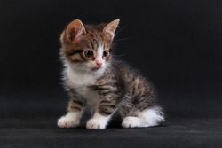 Striped grey white-breated cute kitten sitting on black background in studio indoors