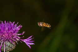 Striped hoverfly insect flying to a thistle flower macro photography. Volucella ianis flying on a dark green background.