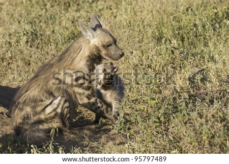 Striped Hyaena (Hyaena hyaena) with a cub in Tanzania's Serengeti National Park