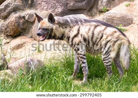 Striped hyena laughing or smirking closeup