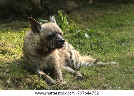 Striped hyena on a close up horizontal picture. A rare carnivorous species occurring in Asia and Africa.