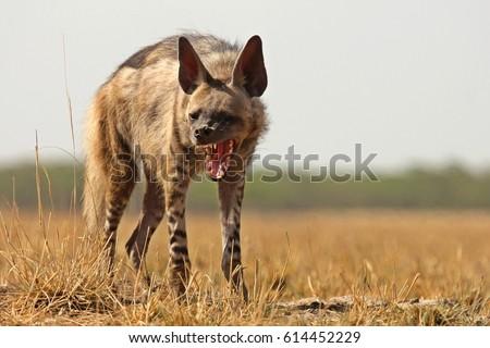 Striped Hyena showing its powerful jaws at Velavadar National Park, Bhavnagar, India