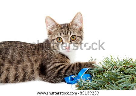 Striped kitten and pine branch on a white background