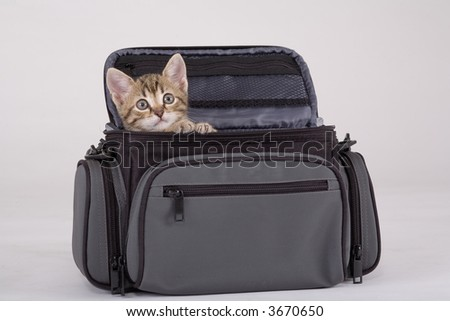 striped kitten in the bag, isolated on a grey