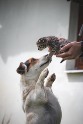 Striped kitten kisses his protective female dog, who defends him and follows him around the garden. Maternal bond. Innocence and affection. Licking the kitten. The frilly kitty.