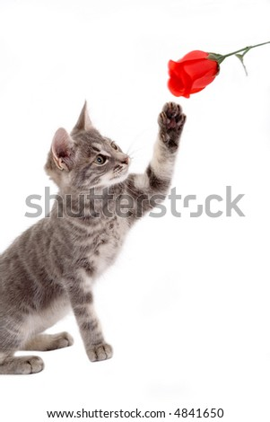 striped kitten playing with a red rose