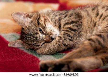 Striped Kitten sleep on a red blanket