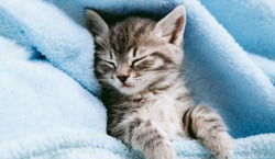 Striped kitten sleep on blue color blanket. Gray cat kid animal with paws relax on bed with copy space. Small tabby kitten on blue background. Long web banner.