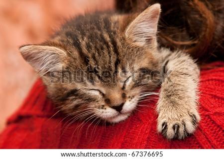 Striped Kitten sleeps on a shoulder