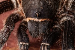 Striped-knee tarantula, or Costa Rican Zebra Tarantula (Aphonopelma seemanni) a large spider from tropical Costa Rica