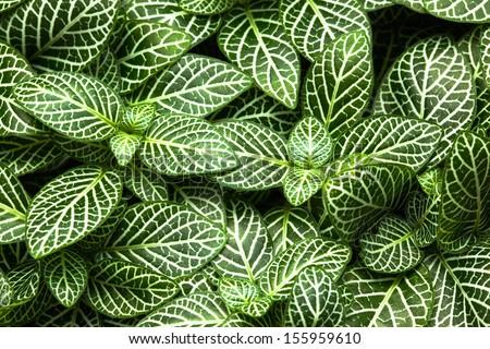 striped leaf ornamental plants close up  - Shutterstock ID 155959610