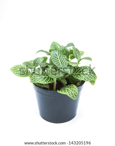 striped leaf ornamental plants in flowerpot on white background