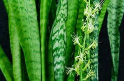 Striped leaves and flower of Sansevieria zeylanica or Zeylanica Snake Plant on black background. Green leaves of Zeylanica Snake Plant or mother-in-law's tongue. Close-up blooming
