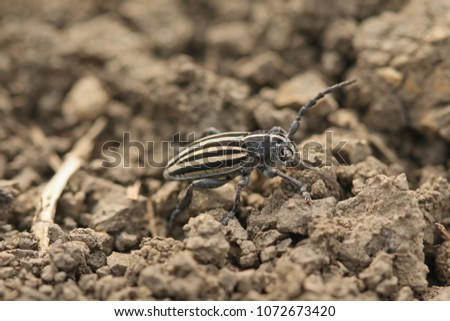Striped longhorn beetle on a close up horizontal picture. A rare insect species occurring in Europe showing a zebra pattern. #1072673420
