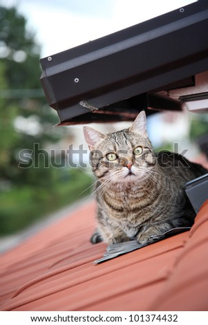 striped male cat on roof