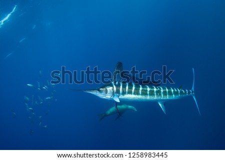 Striped marlin hunting sardines of the Pacific coast of Baja California Sur, Mexico. #1258983445